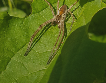 Other common Spiders